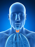 Le mâle a mis en valeur la glande thyroïde Photo stock
