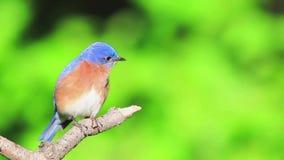 Le mâle oriental d'oiseau bleu été perché sur la branche, souffle des plumes, regarde autour et chante clips vidéos