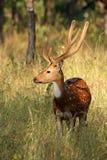 Le mâle a repéré des cerfs communs - Inde image libre de droits