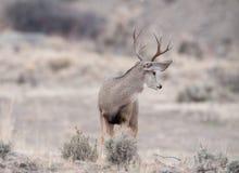 Le mâle vigilant de cerfs communs de mule regarde derrière lui Image stock