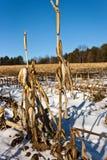Le maïs égrappe à gauche après récolte Image stock