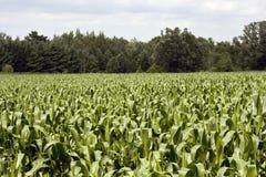 Le maïs égrappe la zone Photographie stock libre de droits