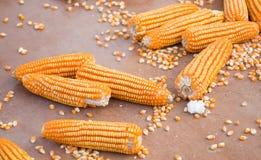 Le maïs cru Photo libre de droits