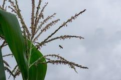 Le maïs, l'oreille de maïs ou la ferme de maïs, les usines de maïs vert fraîches se développent, maïs fleurit, des haricots de ma photo stock
