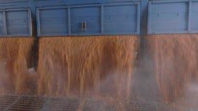 Le maïs moissonné a déchargé la chute d'un camion banque de vidéos
