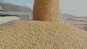 Le maïs moissonné a déchargé la chute du cartel dans un camion banque de vidéos