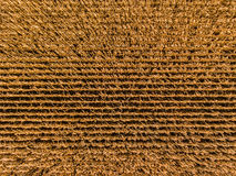 Le maïs rame l'antenne Photographie stock