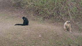 Le macaque blanc essaye d'attraper la nourriture se reposant près du singe noir clips vidéos