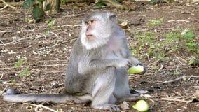 Le macaque de crabe-consommation, fascicularis de Macaca, également connus sous le nom de macaque long-coupé la queue banque de vidéos