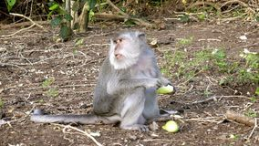 Le macaque de crabe-consommation, fascicularis de Macaca, également connus sous le nom de macaque long-coupé la queue clips vidéos