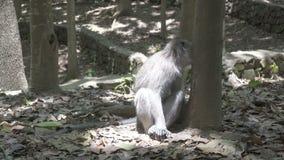 Le macaque de crabe-consommation, fascicularis de Macaca, également connus sous le nom de macaque long-coupé la queue, singe Fore clips vidéos