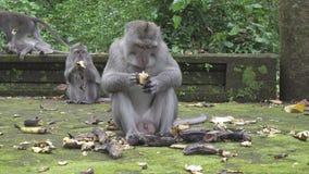 Le macaque de crabe-consommation, fascicularis de Macaca, également connus sous le nom de macaque long-coupé la queue, singe Fore banque de vidéos