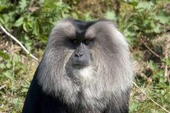Le macaque lion-suivi Photo stock