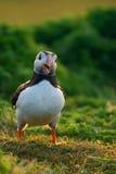 Le macareux atlantique semble heureux Photo libre de droits