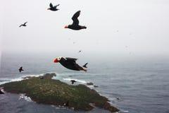 le macareux tufté au-dessus de l'océan (cirrhata de Lunda) Photo libre de droits