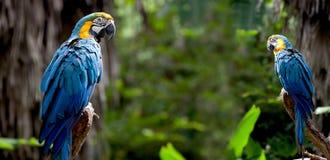 Le macaw coloré de l'écarlate deux était perché sur un branchement Photographie stock libre de droits