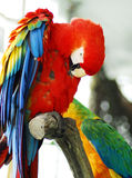 Le macaw rouge a isolé photo stock
