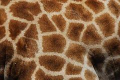Le macro ABSTRAIT de la girafe sauvage se cachent en Afrique du Sud photographie stock