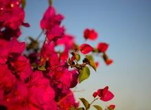 Le macro coloré fleurit le fond avec le ciel bleu Fleurs doucement roses Fin vers le haut Fleurit le fond avec un espace de copie Photo stock