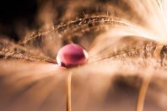 Le macro, composition abstraite avec de l'eau coloré chute sur des graines de pissenlit images libres de droits