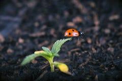 Le macro détail du cannabis mis en pot poussent avec le ladybeetle d'insecte de dame photo stock
