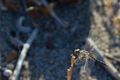 Le macro d'insec de Dragounfly détaille la plage Grèce Rhodos Photographie stock libre de droits