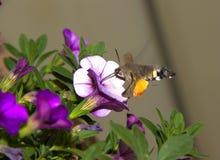le macro d'insecte de sphinx détaille le jardin Photographie stock libre de droits