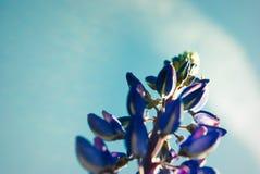 Le macro de loup de fleur bleue, se ferment  Fleurs de loup de floraison en m Images stock