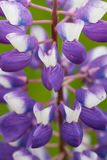 Le macro de loup de fleur pourpre, se ferment  Fleurs de loup de floraison dans le pré Couleurs douces lumineuses et saturées, br Photo stock