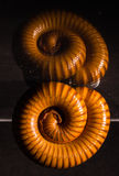 Le macro des mille-pattes oranges et bruns sur le verre avec la réflexion, mille-pattes a lové, désambiguisation image libre de droits