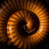 Le macro des mille-pattes oranges et bruns sur le verre avec la réflexion, mille-pattes a lové, désambiguisation photo stock