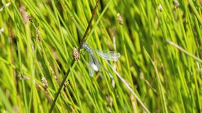 Le macro du dryas d'Emerald Spreadwing Lestes était perché sur une lame d'herbe Photos libres de droits