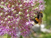 Le macro en gros plan du jaune et le noir gaffent l'abeille sur la fleur à bulbe pourpre d'allium Photos stock