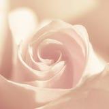 Le macro fleurit des roses Photographie stock libre de droits