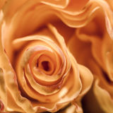 Le macro fleurit des roses Photos stock