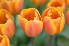 Le macro fond de l'orange et du jaune a coloré des fleurs de tulipe de ressort Photographie stock
