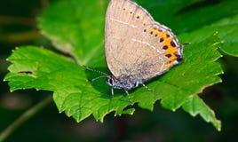 Le macro papillon se repose sur une feuille verte Photos stock