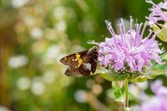 Le macro plan rapproché d'un argent a repéré la mite de papillon de pantoufle photographie stock libre de droits