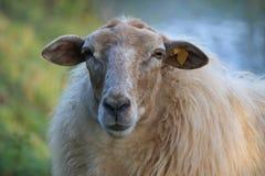 Le macro portrait de moutons, simple, se ferment vers le haut des espèces spéciales : Mergelland Limbourg, oms, Pays-Bas, extinti image libre de droits