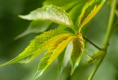 Le macro tir d'un lierre vert frais part photo stock