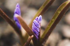 Le macro tir de la première fleur de ressort pousse l'élevage de la terre Image libre de droits