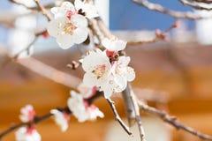Le macro tir du bel abricot légèrement brouillé fleurit au soleil le jour Photos libres de droits
