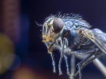 Le macro une vue de côté de mouche, se ferment  Photographie stock