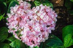Le macrophylla en forme de coeur rose d'hortensia fleurit le fond comm. Images libres de droits