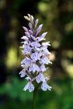 Le maculata de Dactylorhiza, bruyère a repéré l'orchidée photo libre de droits