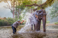 Le Mahout baignent et nettoient les éléphants en rivière Photos libres de droits