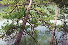 Le maigre de pins sur la rivière Image stock