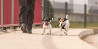 Le maitre-chien de chien marche avec ses peu de chiens sur une route Chienchien ob?issant de deux Jack Russell Terrier photographie stock libre de droits
