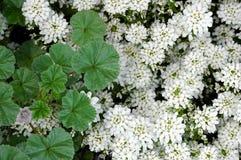 Le Malva pousse des feuilles les fleurs blanches photographie stock libre de droits