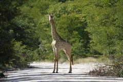 Le mammifère le plus grand des mondes ; Giraffe réticulée images libres de droits